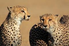 Ritratto del ghepardo Fotografia Stock Libera da Diritti