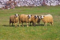 Ritratto del gruppo delle pecore nel pascolo Immagini Stock Libere da Diritti