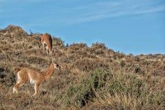 Ritratto del guanaco nella fine di Patagonia dell'Argentina su Immagini Stock