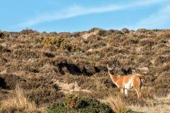 Ritratto del guanaco nella fine di Patagonia dell'Argentina su Fotografia Stock