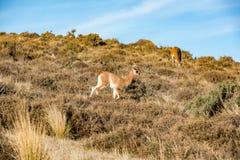 Ritratto del guanaco nella fine di Patagonia dell'Argentina su Fotografia Stock Libera da Diritti