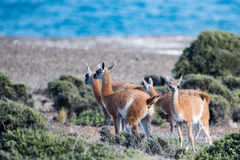 Ritratto del guanaco nella fine di Patagonia dell'Argentina su Immagine Stock