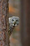 Ritratto del gufo di grande grey, nebulosa dello strige, nascosto del tronco di albero nella foresta di inverno, con gli occhi gi Fotografia Stock Libera da Diritti