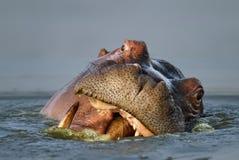 Ritratto del Hippopotamus fotografia stock libera da diritti