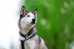 Ritratto del husky con gli occhi azzurri Fotografia Stock Libera da Diritti