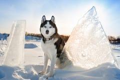 Ritratto del husky siberiano immagine stock libera da diritti