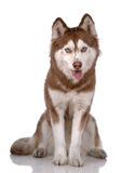 Ritratto del husky siberiano Immagini Stock Libere da Diritti