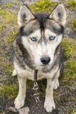 Ritratto del husky siberiano con gli occhi azzurri Immagine Stock Libera da Diritti
