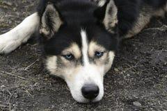 Ritratto del husky siberiano di menzogne con gli occhi azzurri Immagine Stock