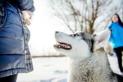 Ritratto del husky siberiano nel profilo Fotografia Stock