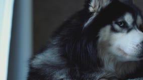 Ritratto del husky smilling della tenuta dell'uomo sulle mani che guardano fuori la finestra, pensando i suoi pensieri e sogno video d archivio