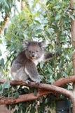 Ritratto del Koala Fotografia Stock
