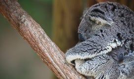 Ritratto del Koala del bambino e della madre Fotografia Stock Libera da Diritti