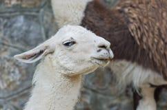 Ritratto del lama bianco dal Sudamerica Fotografia Stock