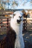 Ritratto del lama nel parco o nello zoo Lama glama domestico divertente Fotografie Stock