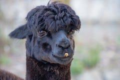 Ritratto del lama nero sveglio Fotografia Stock