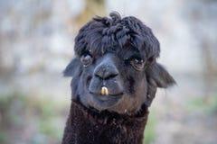 Ritratto del lama nero sveglio Fotografie Stock