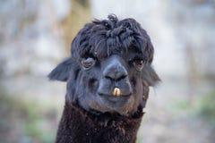 Ritratto del lama nero sveglio Fotografie Stock Libere da Diritti