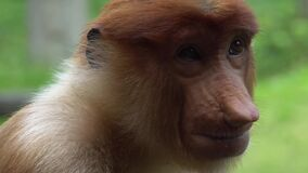 Ritratto del larvatus femminile del Nasalis della nasica animale endemico pericoloso del Borneo stock footage