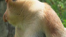 Ritratto del larvatus maschio del Nasalis della nasica animale endemico pericoloso del Borneo stock footage