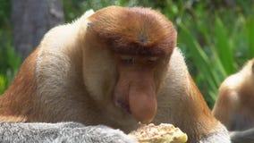 Ritratto del larvatus maschio del Nasalis della nasica che mangia alimento animale endemico pericoloso del Borneo video d archivio