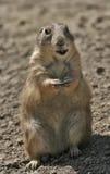 Ritratto del Lemming immagini stock libere da diritti