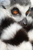 Ritratto del Lemur Ring-tailed Immagine Stock Libera da Diritti