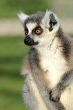Ritratto del Lemur Ring-tailed Fotografie Stock