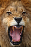 Ritratto del leone Immagini Stock