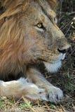 Ritratto del leone Immagini Stock Libere da Diritti