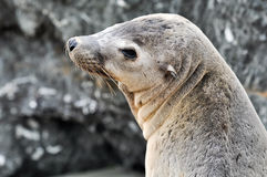 Ritratto del leone di mare Fotografie Stock