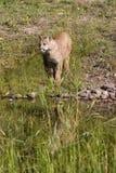 Ritratto del leone di montagna Fotografia Stock Libera da Diritti