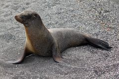 Ritratto del leone marino (Galapagos, Ecuador) Fotografia Stock