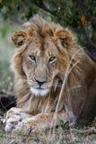 Ritratto del leone maschio di sembrare vago che si trova nell'erba Fine in su Immagine Stock Libera da Diritti