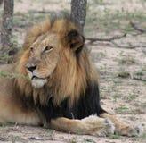 Ritratto del leone nella savanna Fotografia Stock
