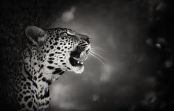 Ritratto del leopardo Immagini Stock Libere da Diritti