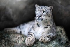 Ritratto del leopardo delle nevi fotografie stock libere da diritti