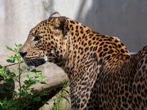 Ritratto del leopardo dello Sri Lanka Fotografie Stock