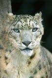Ritratto del leopardo nebuloso Immagine Stock