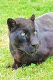 Ritratto del leopardo nero fotografia stock libera da diritti
