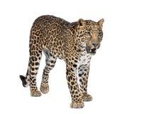 Ritratto del leopardo, pardus del Panthera, levantesi in piedi fotografia stock libera da diritti