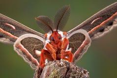 Ritratto del lepidottero di Cecropia Immagini Stock