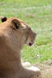 ritratto del lioness Immagine Stock