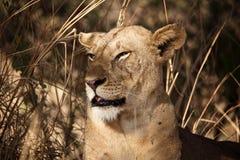 Ritratto del Lioness Immagini Stock Libere da Diritti