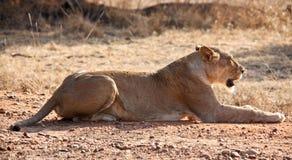 Ritratto del Lioness Fotografie Stock