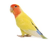 Ritratto del Lovebird Ottimistico-affrontato fotografie stock