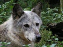 Ritratto del lupo Immagini Stock Libere da Diritti