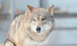 Ritratto del lupo Immagine Stock Libera da Diritti