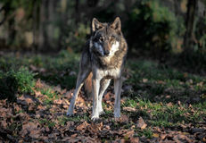 Ritratto del lupo Fotografia Stock Libera da Diritti