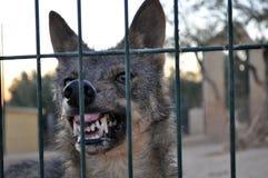 Ritratto del lupo Immagini Stock